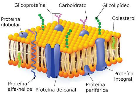 Estrutura da membrana celular